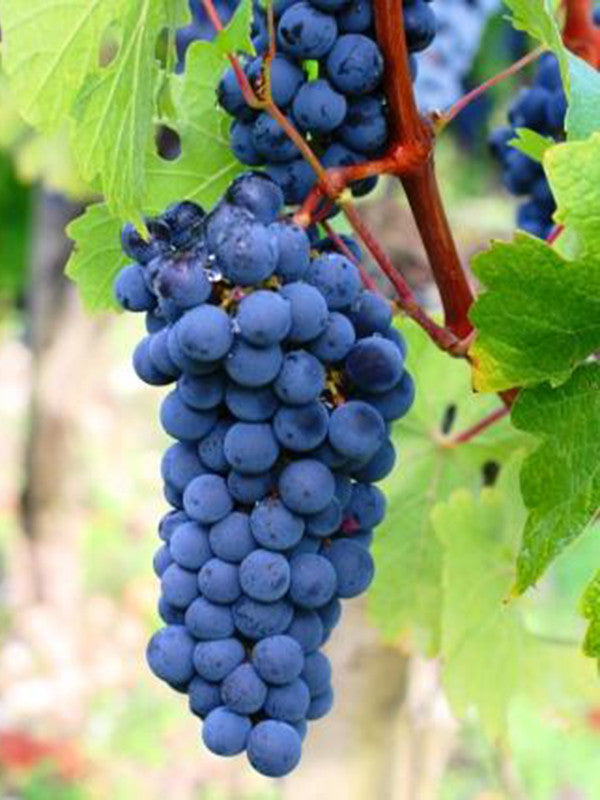 Chilean Carmenere Grapes