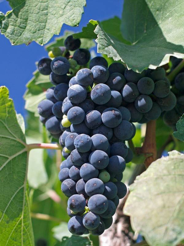 Chilean Cabernet Franc Grapes