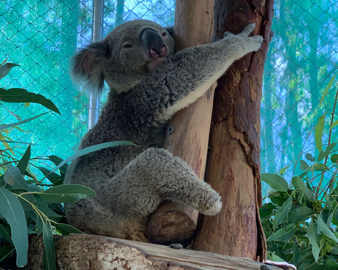 INTRODUCING TRIUMPH, WHY OUR KOALAS COUNT