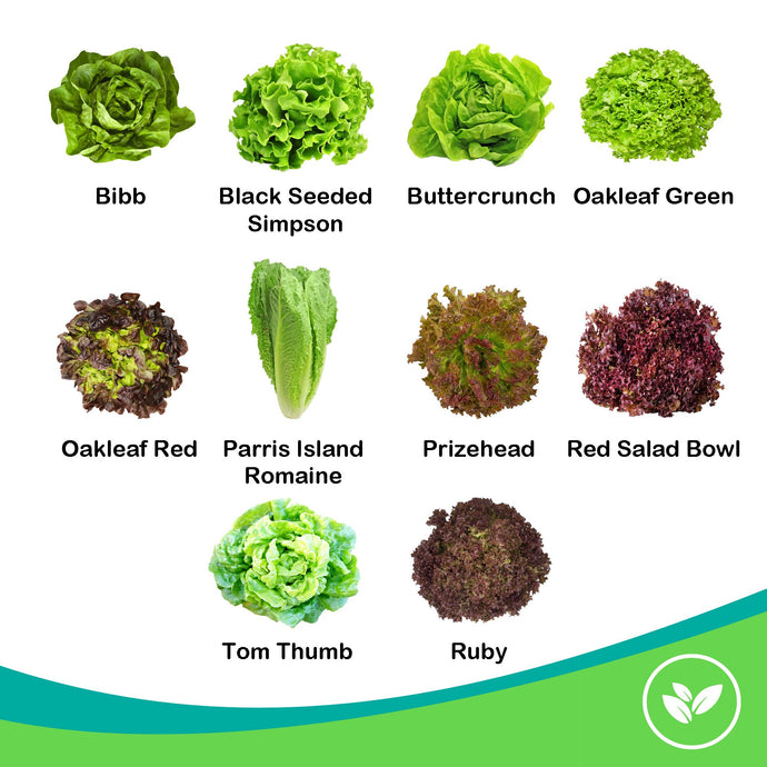 SavvyGrow Heirloom Lettuce Seeds (10 Varieties) – Survival Garden Seeds for Planting Include - Open Pollinated, 85% Plus Germination Rate, Non-GMO & Source in USA Vegetable Seed