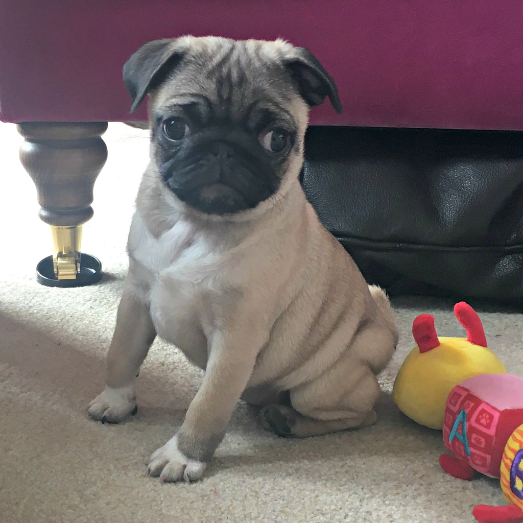 New beginnings: April the pug puppy joins the team