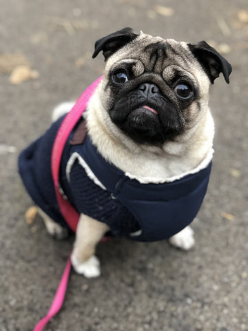 April the pug - Honey Willow