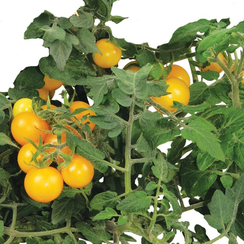 Golden Harvest Cherry Tomato Seed Kit