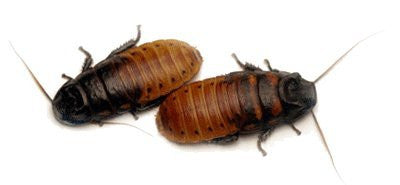 Madagascar Hissing Roach (Breeding Pair) - Price Includes Heat Pad for Winter Shipping