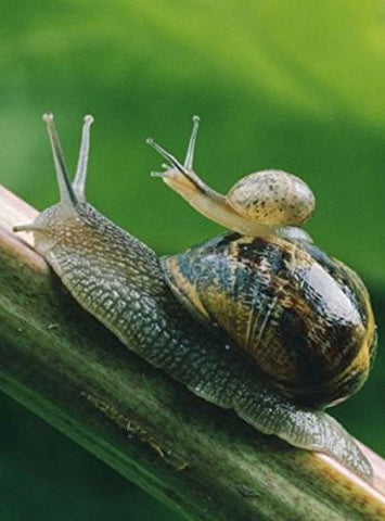 Hot Sale! 20 SNAILS, Helix Aspersa Muller, Greek, Alive, Perfect Pets, Free at Nature