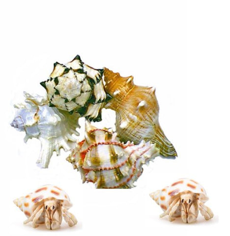 Florida Marine Research SFM34335 6-Pack Hermit Crab Shell, X-Large