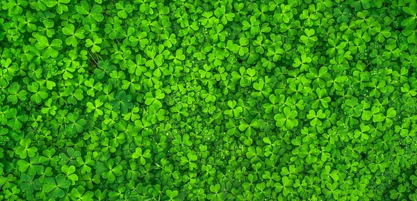 Why Four Leaf Clovers Are Lucky?
