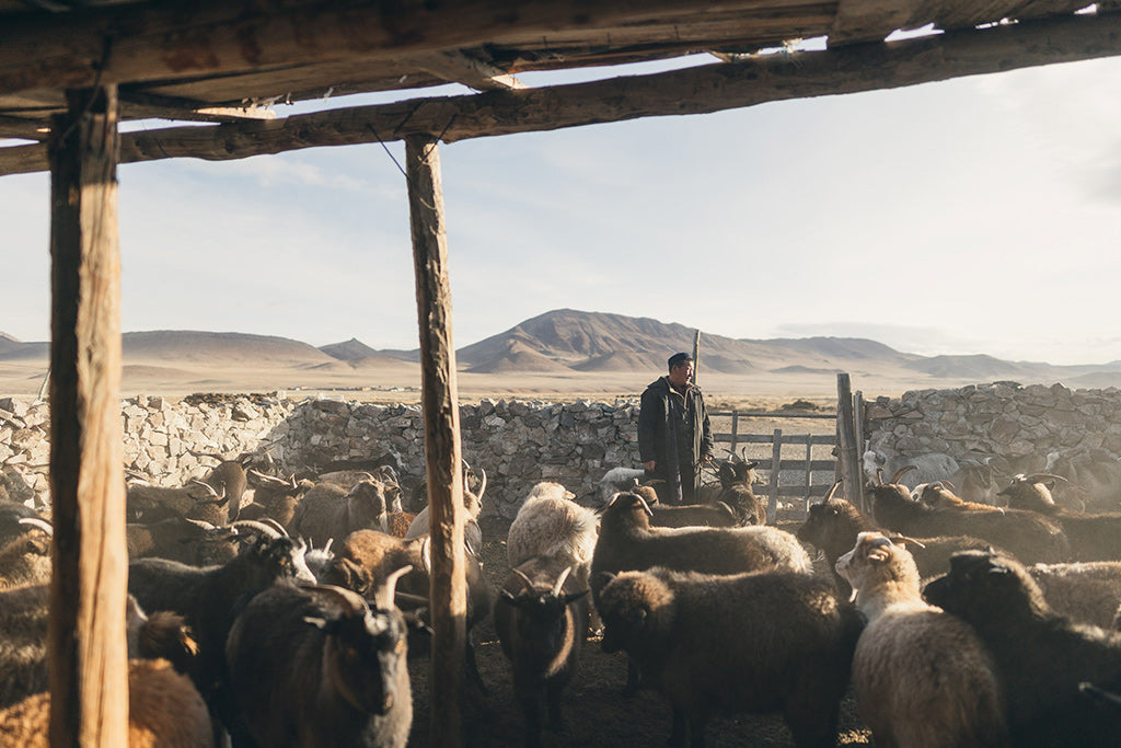 mongolian tribe member rounds up livestock into their pens in the morning light