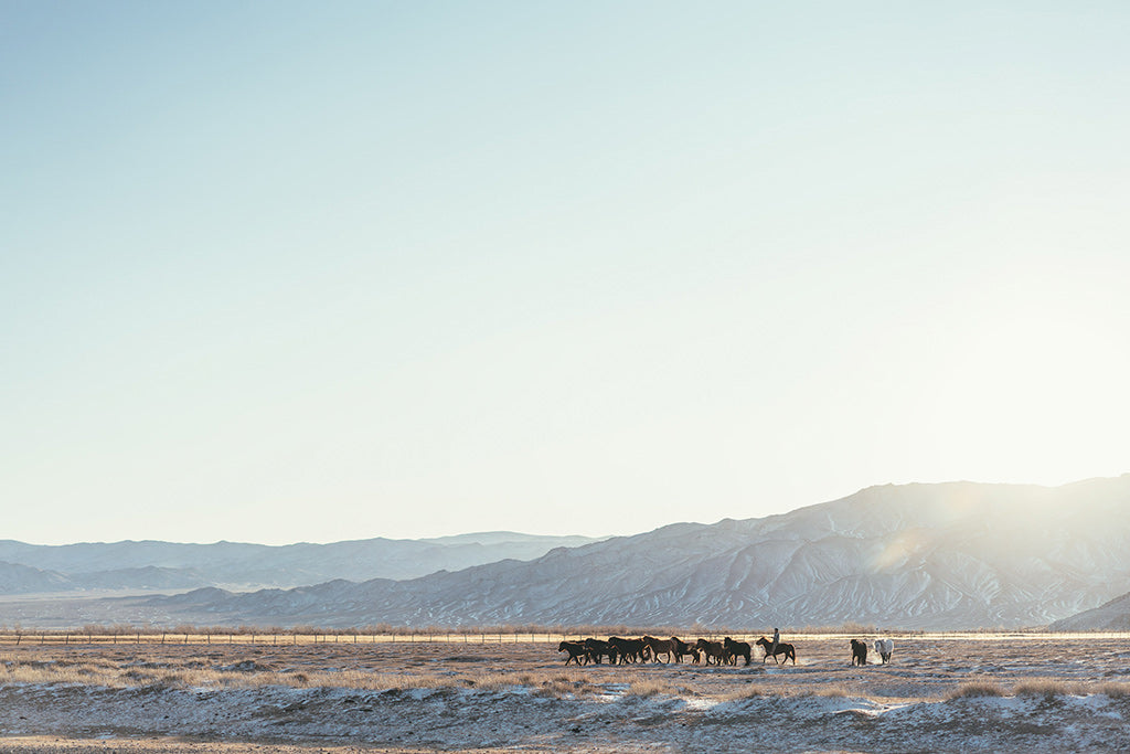 horses being rounded up in the early morning light and mist in Mongolia