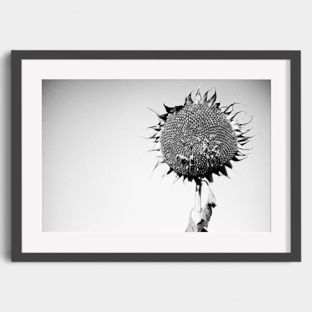 Autumn Sunflower  - Fine Art Print