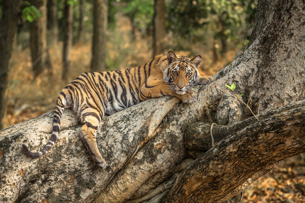 The Tiger Capital of the World - Bandhavgarh