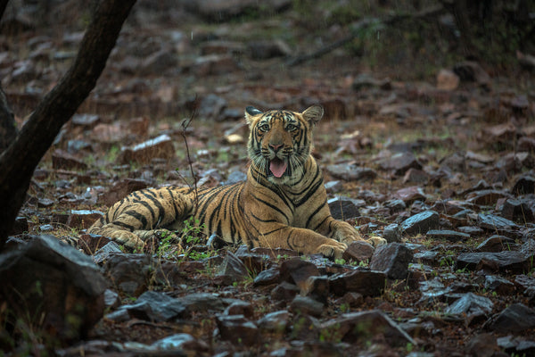 Where The Royals Rule!! -  Ranthambore