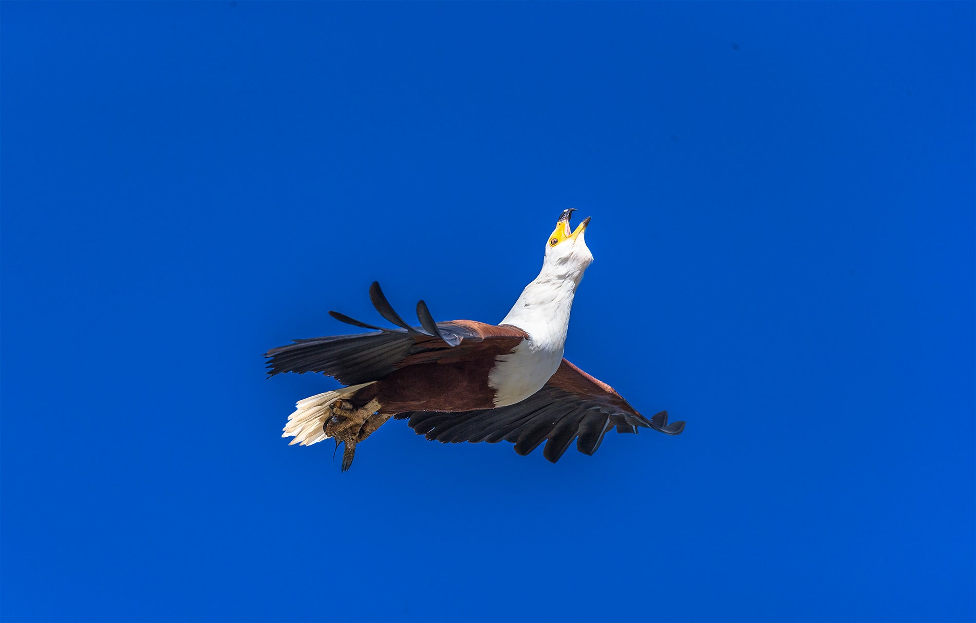 Fish_Eagle_flight