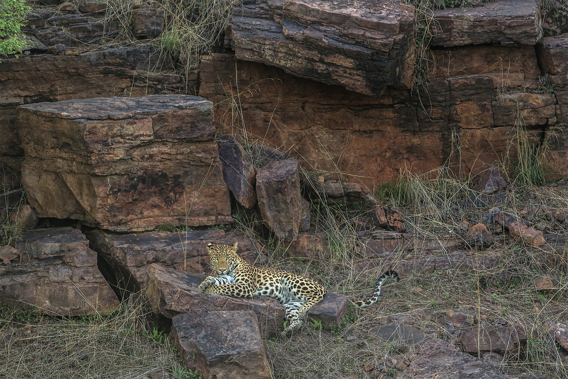 Leopard_on_the_rocks