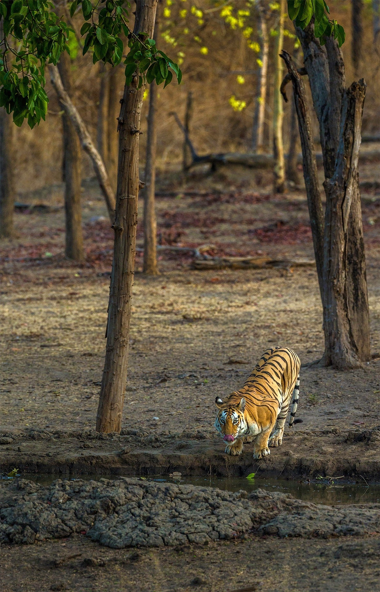 free-pench-tiger-free-images-travelunbounded