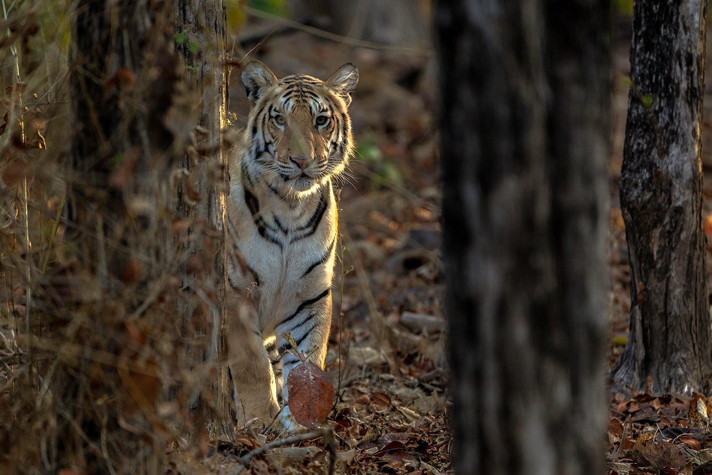 pench-tiger
