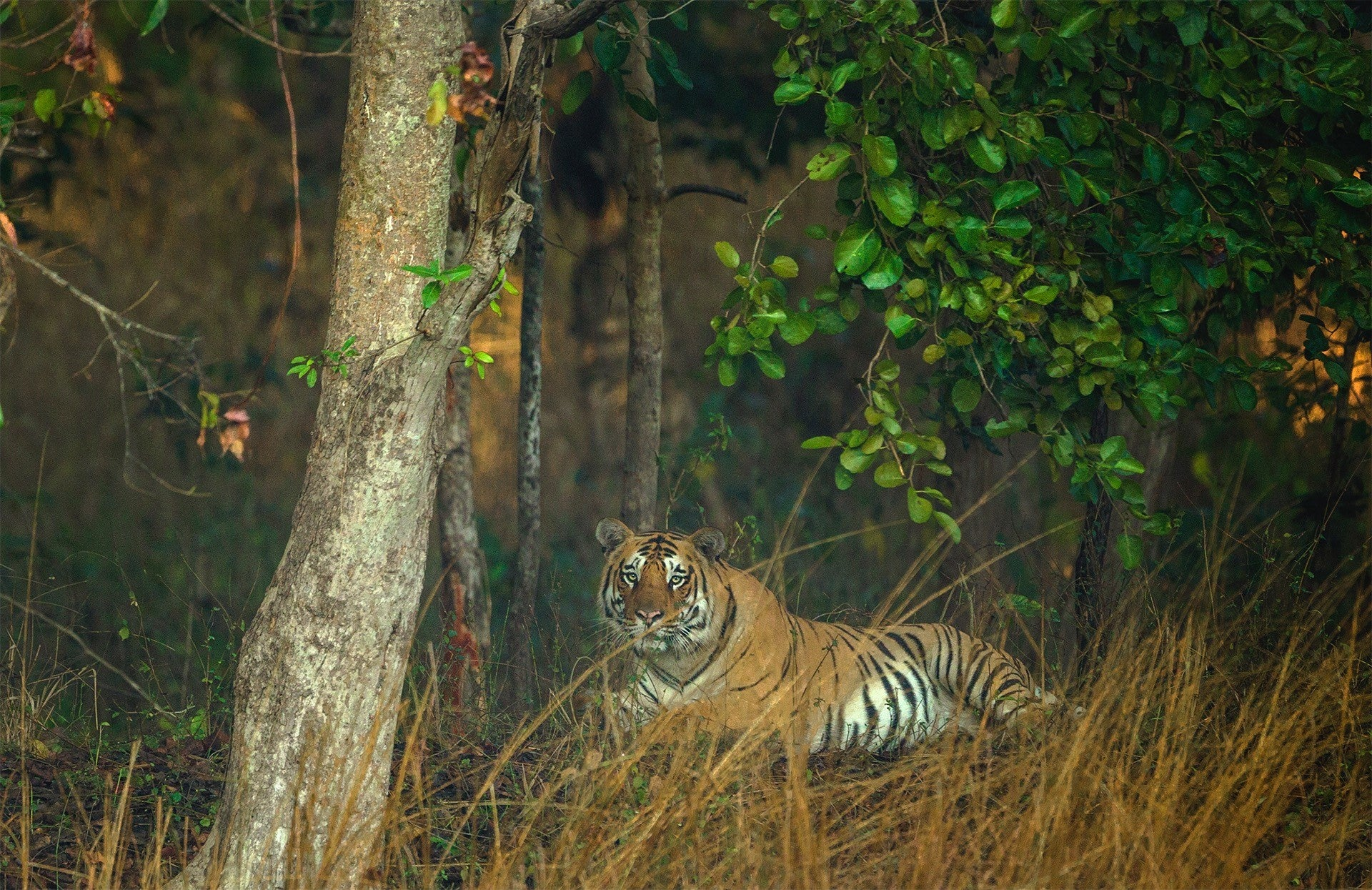 pench-tiger-travelunbounded