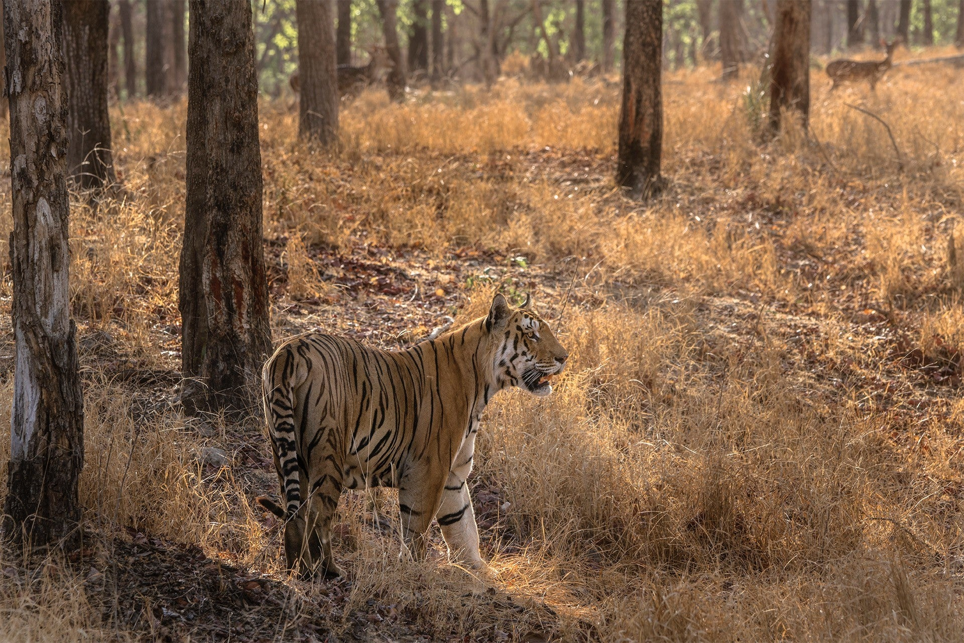 pench-tiger-free-images-travelunbounded
