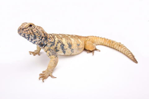 Uromastyx Care Sheet