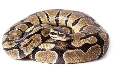 Ball Python Care Sheet