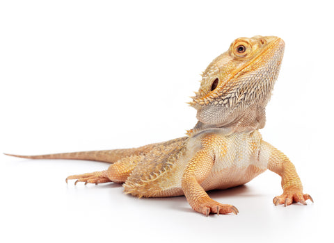 Bearded Dragon Care Sheet provided by Reptifiles
