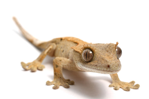 Crested Gecko Care Sheet provided by Reptifiles