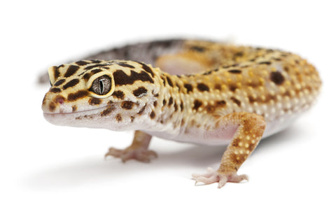 Leopard Gecko Care Sheet provided by Reptifiles
