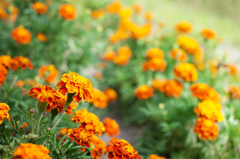 Marigolds: Natural insect repellents
