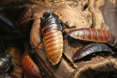 cockroaches in a pile