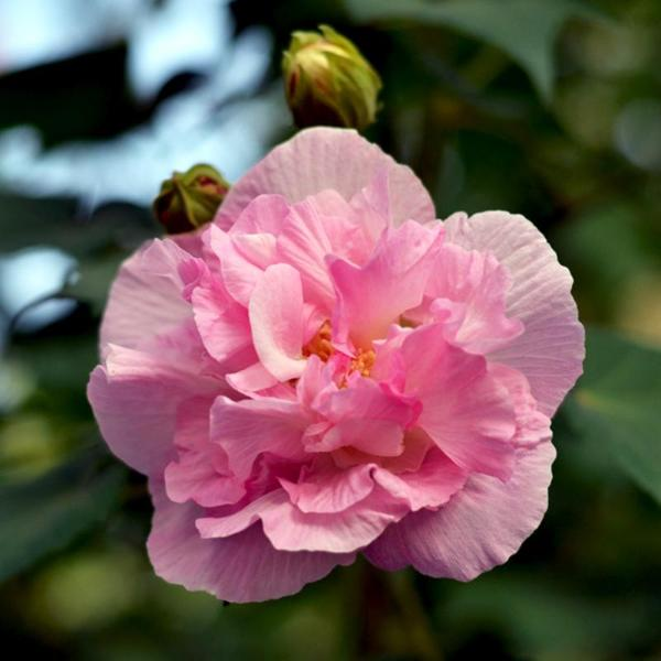 Sweet Pink Hibiscus Hardy Flower Seeds