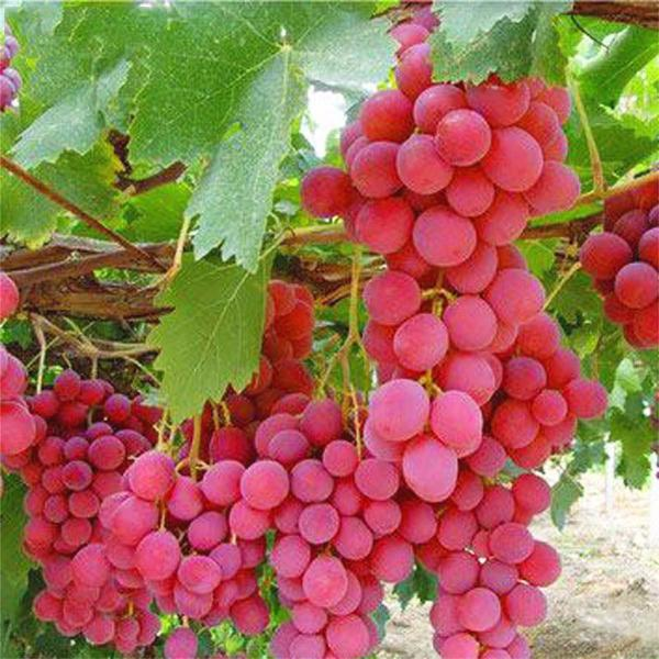 Rose Red Grape Seeds