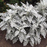 Cineraria Dusty Miller Plant Seeds
