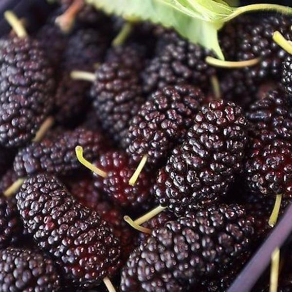 Jumbo Thornless Blackberry Seeds