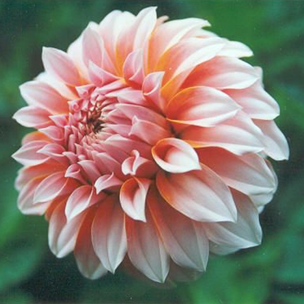 Pink And Peach Dahlia Seeds