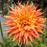 Orange Flame Dahlia Seeds