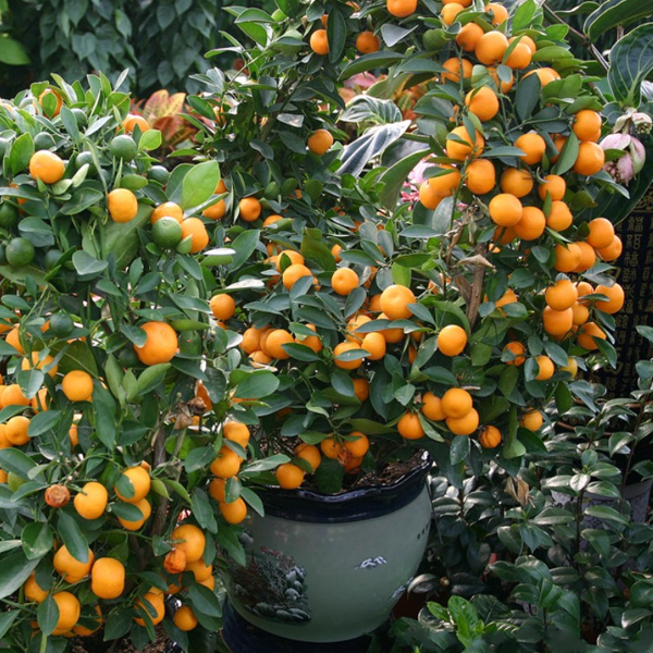 Tangerine Mandarin Tree Seeds