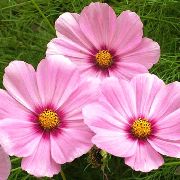 Potted Cosmos Bipinnatus Seeds