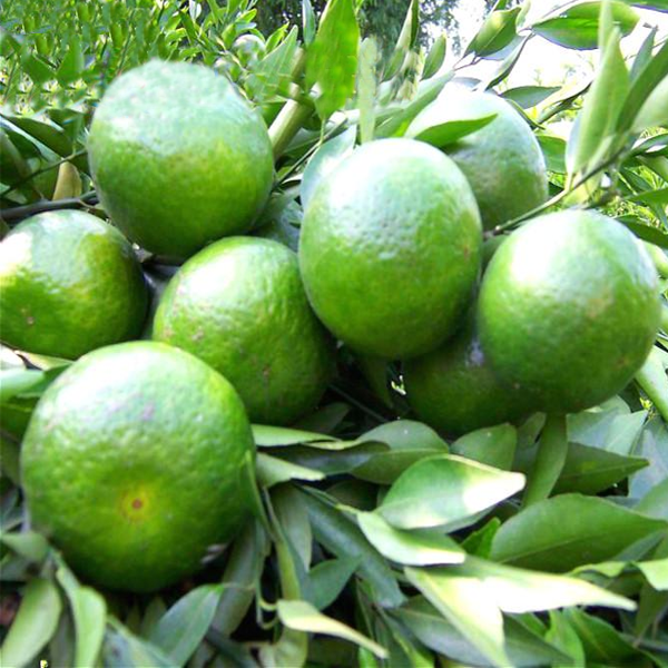 Green Mandarin Fruit Tree Seeds