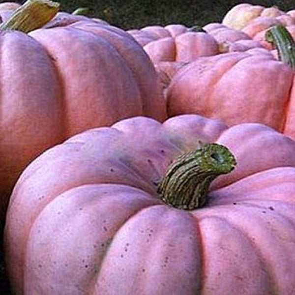 Pink Pumpkin Seeds