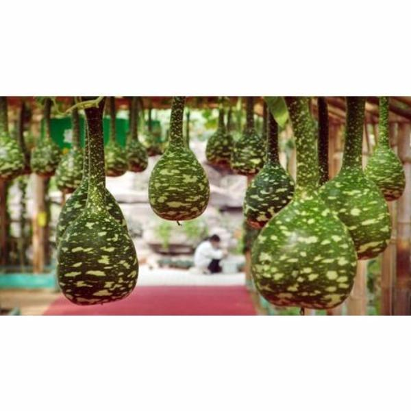 Rare Swan Speckled Swan Bottle Gourds Seeds