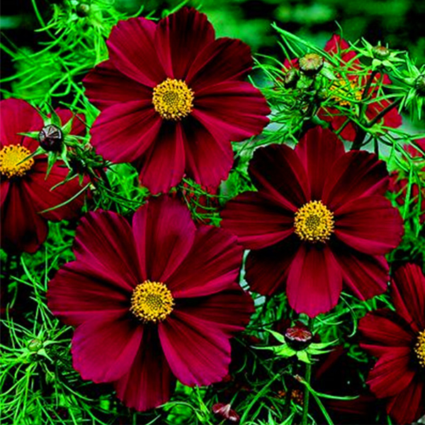 Potted Cosmos Atrosanguineus Seeds