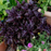 Purple Basil Ornamental Flower Seeds
