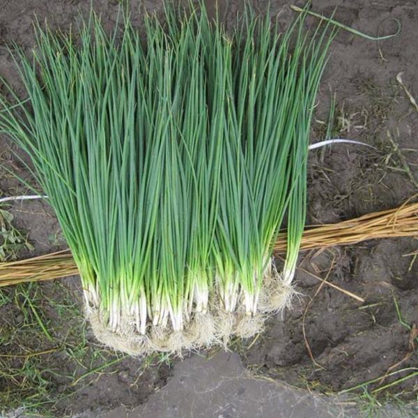 Onions Leeks Vegetable Seeds