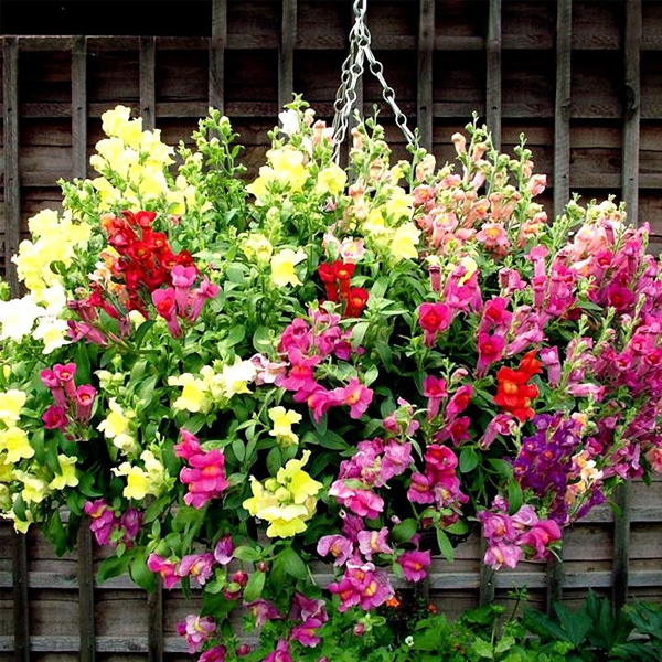 Antirrhinum 'Trailing Mix' Snapdragon Flowers Seeds