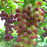 Gold Finger Grape Seeds
