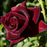 Black Baccara Rose Seeds