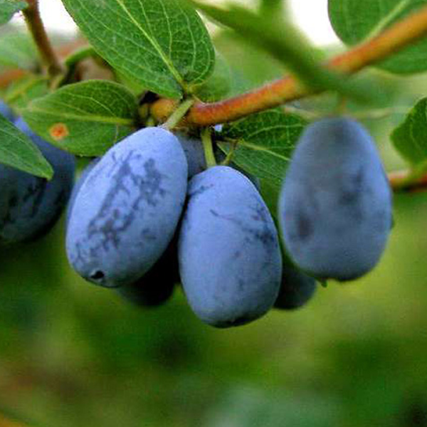Lonicera Caerulea Fruit Seeds