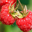 Red Raspberry Fruit Seeds