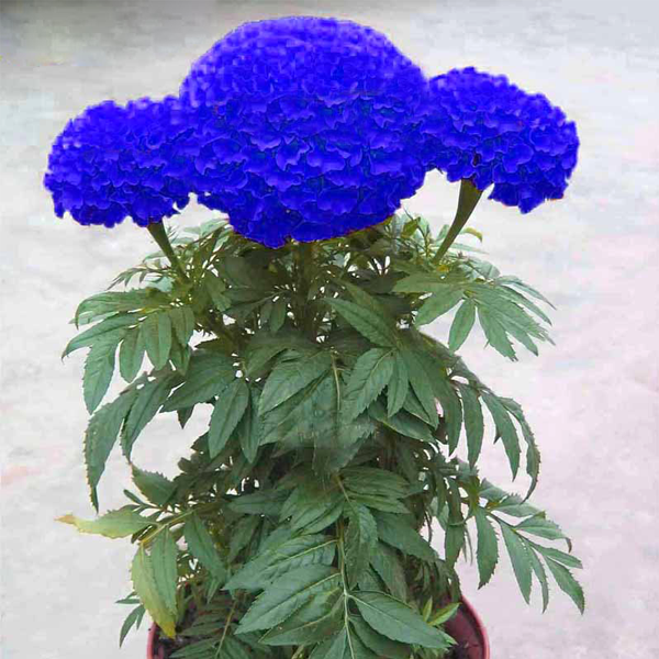 Blue Chrysanthemum Marigold Flower Seeds