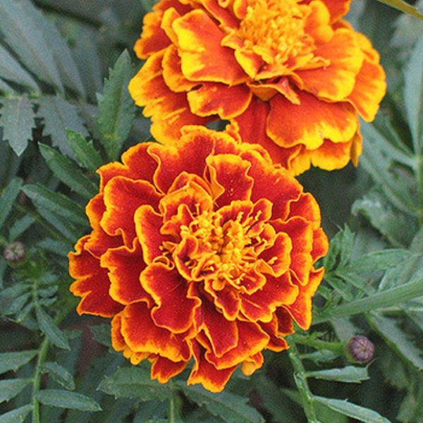 Bluest Eyes Marigold Flower Seeds